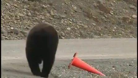 """Il comportamento """"civile"""" dell'orso: si avvicina al birillo caduto, lo rialza e si allontana"""