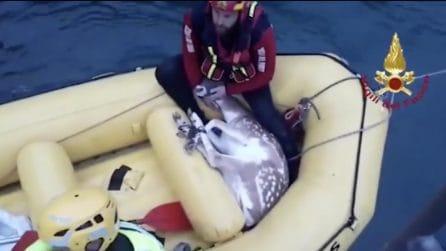 Vigili del fuoco salvano un daino caduto in acqua: rischiava di annegare