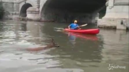 Torino, capriolo finisce nel Po: una canoa interviene per salvarlo