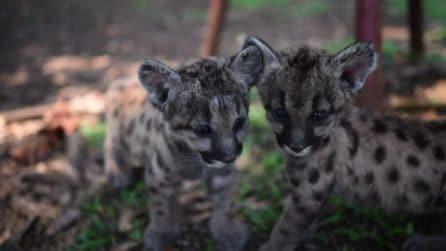 Nati due rari piccoli di puma, si chiamano Pandemia e Quarantena