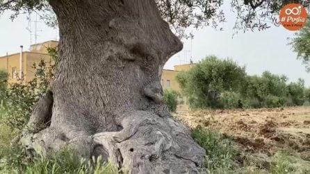 """Il tronco che """"nasconde"""" un volto umano: il meraviglioso Ulivo Pensante in Puglia"""