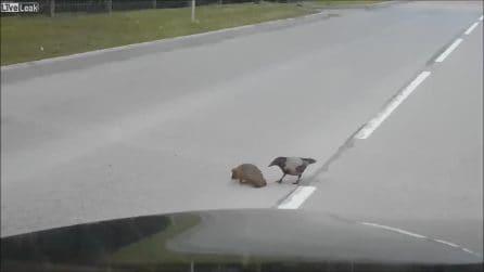 """""""Sbrigati che arriva la macchina"""", il corvo salva un riccio rimasto fermo in strada"""