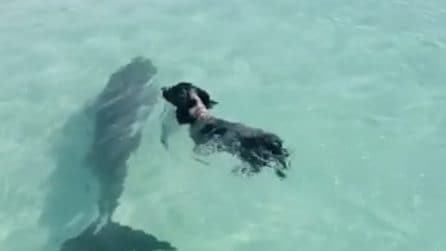 L'insolita amicizia tra un cane e un delfino: nuotano e si divertono insieme