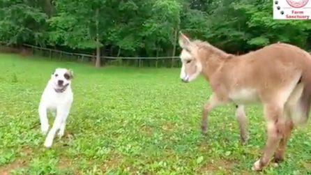 L'asinello crede di essere un cagnolino: come gioca insieme al suo inseparabile amico