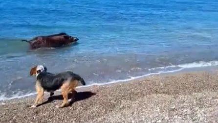 Salerno, la Guardia di Finanza salva un cinghiale: era in mare per scappare dai cacciatori