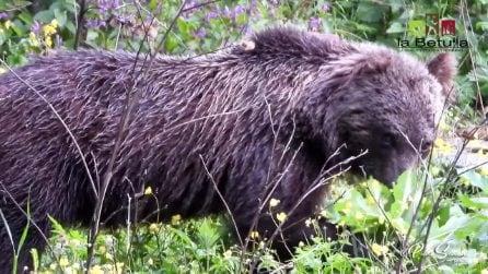 Passeggiano nel Parco d'Abruzzo: all'improvviso spunta un grosso orso