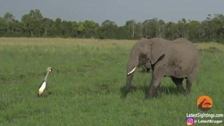 Il nido è in pericolo: l'uccello affronta il grosso elefante