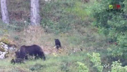 Mamma orsa e i suoi cuccioli passeggiano nel parco: meraviglioso scenario ripreso in Abruzzo