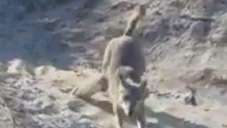 Otranto, un lupo arriva dalle dune e scende in spiaggia