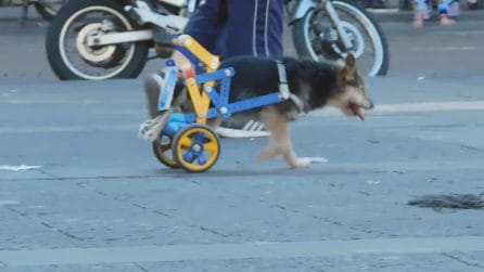Una sedia a rotelle per un cane con le zampe paralizzate: il bel gesto di un passante a Napoli
