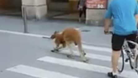 Savona, un canguro impaurito cammina in strada: era scappato da un circo
