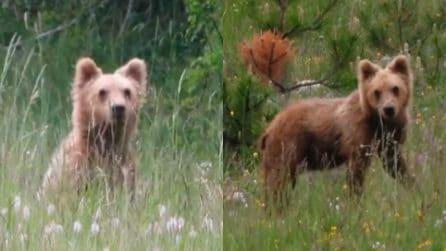 Il cucciolone d'orso, una meraviglia del Parco Nazionale d'Abruzzo