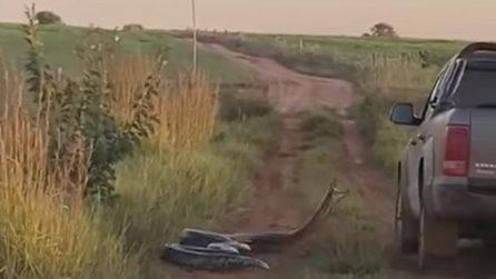 Anaconda enorme (circa 7 metri) si lancia contro un pick-up