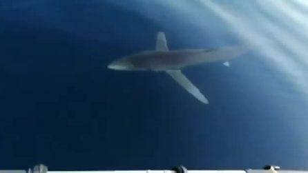 Lo squalo nuota sotto la barca: i pescatori sono preoccupati, ma lo liberano dall'amo