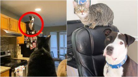Adottano un pitbull in un canile, scoprono che si comporta come un gatto: la tenera storia di Mako