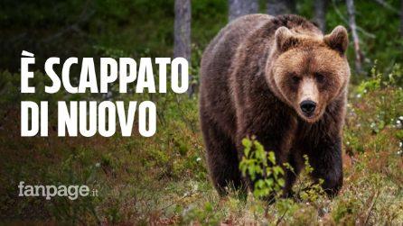 Trentino, l'orso M49 fugge per la seconda volta: ha divelto la rete della gabbia dove era rinchiuso