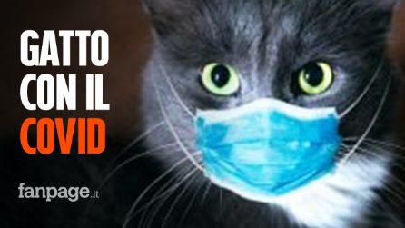 """Gatto domestico con il Coronavirus nel Regno Unito: """"Ha preso il Covid dai suoi proprietari"""""""