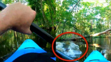 L'alligatore parte all'attacco e colpisce il kayak: l'uomo finisce in acqua