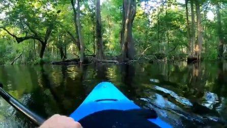 Sotto l'acqua si nascondono senza fare rumore: poi l'alligatore spinge il kayak e l'uomo vade in acqua