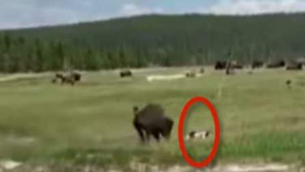Un bisonte la rincorre: donna per salvarsi si finge morta