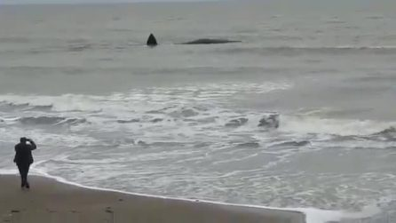A poca distanza dalla riva vedono una grossa pinna: una balenottera si è spiaggiata