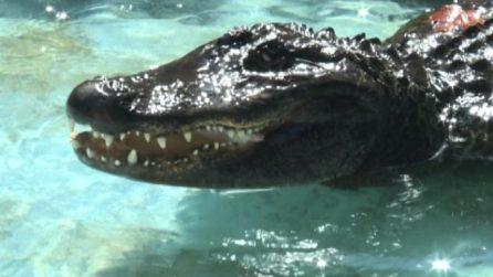 Muja compie 83 anni è il più vecchio alligatore del mondo