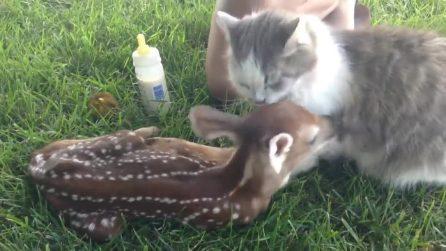 Il gatto fa amicizia col baby cerbiatto: che dolcezza