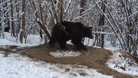 È rimasta chiusa in una gabbia per 20 anni: quest'orsa continua a girare come fosse ancora rinchiusa
