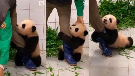 La tenerezza della cucciola di panda: non vuole staccarsi dalla gamba del custode