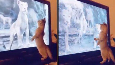 C'è il Re Leone in tv, la reazione del gattino è divertentissima