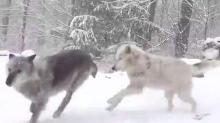 Nevica nello stato di New York: i lupi giocano e si divertono immersi nel candido manto