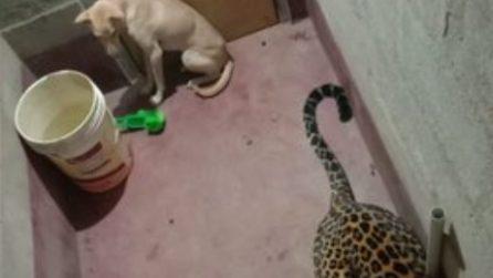 Cane e leopardo chiusi per ore in un bagno: quello che succede dopo ha dell'incredibile