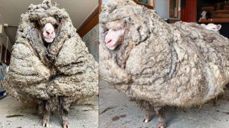 La pecora selvaggia con 35 kg di lana: un ritrovamento impressionante