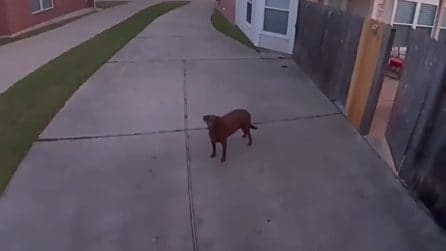 Sente la voce del padrone dall'altoparlante: la reazione del cane ripresa dalle telecamere