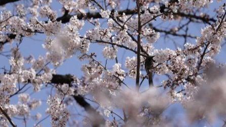 In Giappone fioriscono i ciliegi: la meraviglia dell'hanami