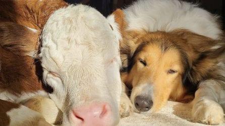 La vitellina e il cane diventano amici inseparabili