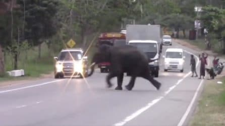 L'elefante impaurito attraversa all'improvviso la strada piena di auto