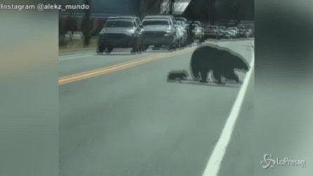 Usa, mamma orsa attraversa con i cuccioli: traffico in tilt