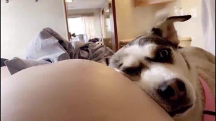 Il cane che adora ascoltare il bambino nel pancione