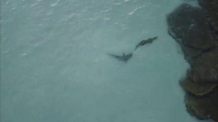 Il coccodrillo diventa preda: viene inseguito dallo squalo, immagini riprese con un drone