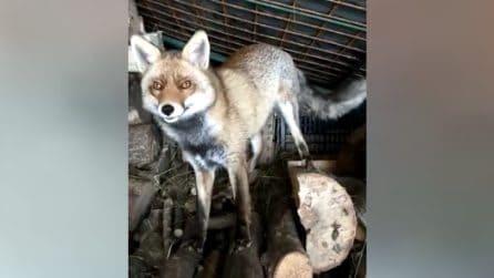 """Donna chiacchiera con una volpe: """"Ma buongiorno"""", la reazione dell'animale"""