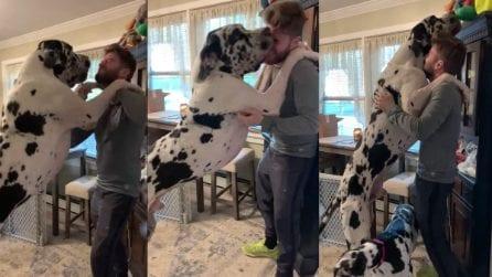 Il cane è enorme e sovrasta l'uomo nel tentativo di prendere il suo giocattolo preferito