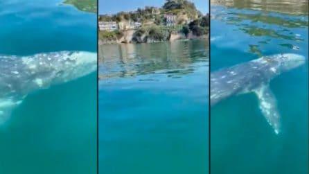 Balena grigia nelle acque di Baia: potrebbe essere lo stesso esemplare visto a Sorrento