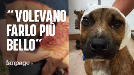 """Bimbi di 10 anni mozzano le orecchie a un cucciolo randagio, i familiari: """"Volevano farlo più bello"""""""