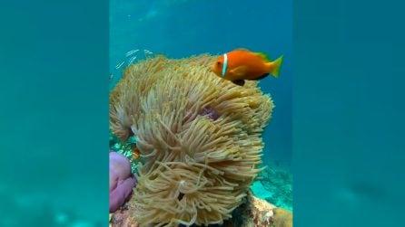 Nemo alle Maldive: il pesce pagliaccio negli stupendi fondali marini