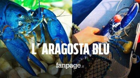 Il bel gesto di un pescatore: trova una rarissima aragosta blu e decide di rimetterla in mare