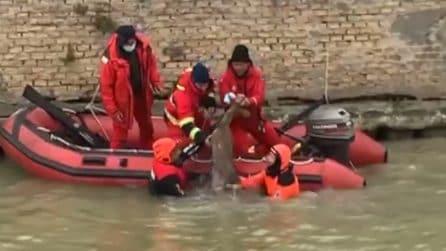 Capriolo scivola nel fiume, i vigili del fuoco lo salvano