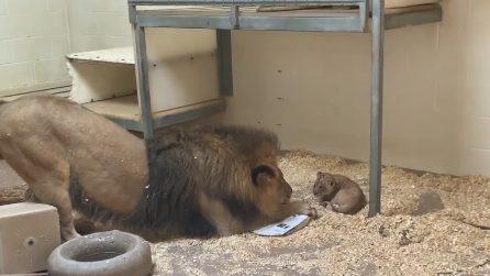 Papà leone incontra il suo cucciolo per la prima volta ed è tenerissimo