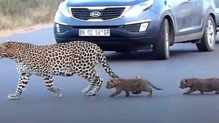 L'istinto materno: mamma leopardo insegna ai cuccioli ad attraversare la strada