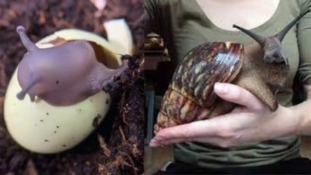 La lumaca africana gigante mangia il suo uovo e viene al mondo